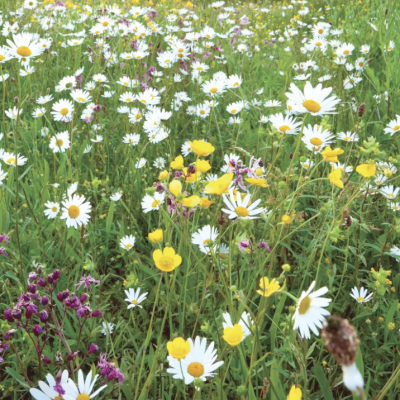 traditional meadow mix